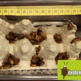 Karaczany argentynskie małe (ok 5mm-10mm) – 100 sztuk